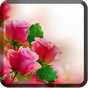 Roses Wallpapers for Chat  APK