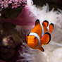 Clownfish Wallpapers 1.5 APK
