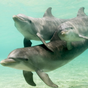 Amazing Dolphins HD 7.0