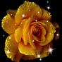 Imagini Fundal Trandafiri 1.3