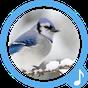 Spiew Ptaków Darmowe Dzwonki 1.1.2 APK