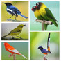 Top 1000 Kicau Burung Mp3 1.0