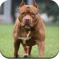 Pitbull Dog Wallpaper Simgesi