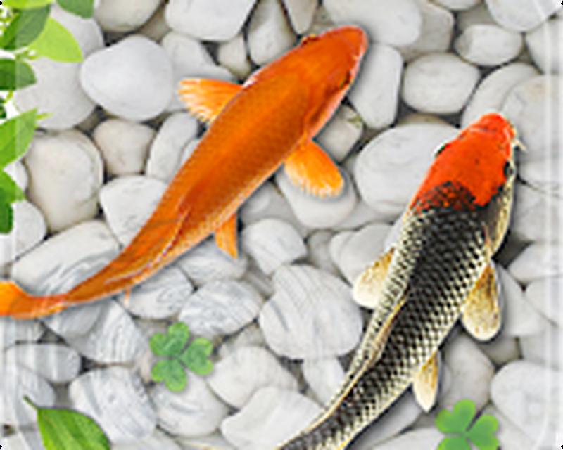 Fish Live Wallpaper 2018 Aquarium Koi Backgrounds