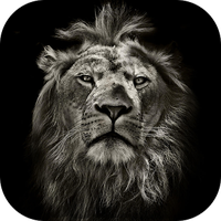 Lion King CM Locker Cool Theme apk icon