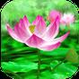 Lotus Livewallpaper 1.0.5 APK