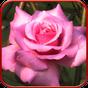 Bông hồng, hình nền sống