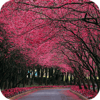 Sakura Live Wallpaper Android Free Download Sakura Live Wallpaper