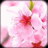 Ícone do apk Sakura Papel de Parede