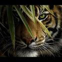 Ícone do apk Big Cat Live Wallpaper