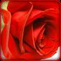花の壁紙 6.1