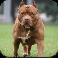 Pitbull Dog Wallpaper Simgesi