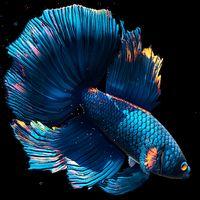 Betta Fish Live Wallpaper FREE アイコン