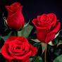 Rose GIF Live Wallpaper