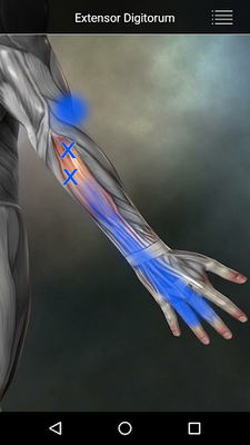 Image 20 of Muscle Points Anatomy