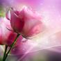 Rosas de pink