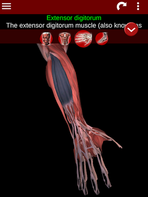 Muscular System 3D Image 10 (Anatomy)
