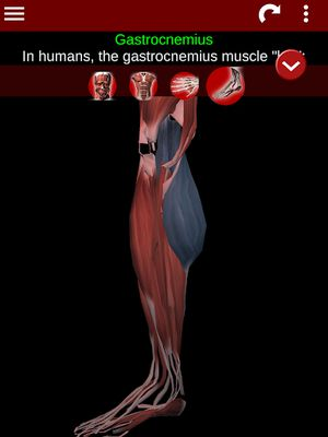 Image 9 of 3D Muscular System (Anatomy)