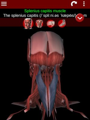 3D Muscular System Image 7 (Anatomy)