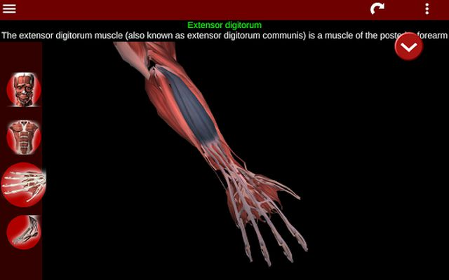 Muscular System 3D Image 2 (Anatomy)