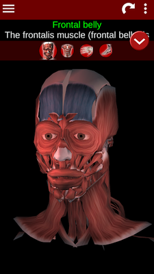 Image 21 of 3D Muscular System (Anatomy)