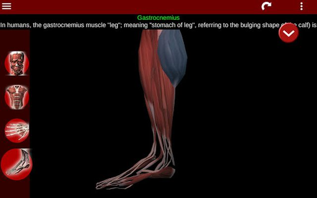 3D Muscular System Image (Anatomy)