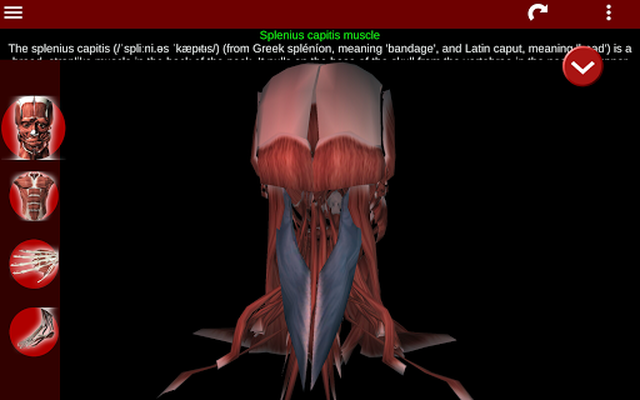Image 11 of 3D Muscular System (Anatomy)