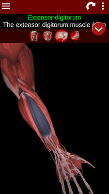 Muscular System 3D Image 19 (Anatomy)