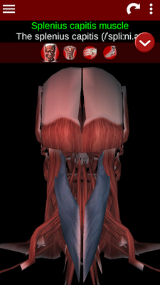 Muscular System 3D Image 16 (Anatomy)