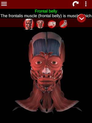 Muscular System 3D Image 13 (Anatomy)