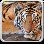 Tiger Hintergrundbilder