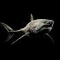 Shark 4K Video Live Wallpaper